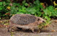 In aid of Hedgehogs - Fun run & Dog Walk